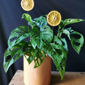 Philodendron Monkey