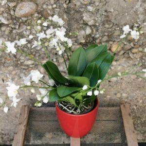 "Orchidée Phalaenopsis ""Sauvage"""