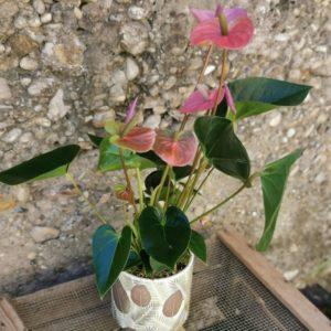 Anthurium violine / rose