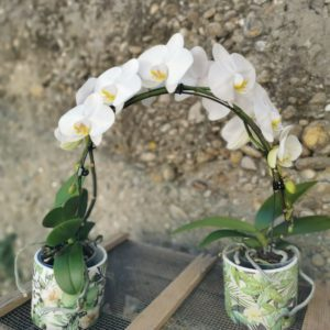 "Orchidée Phalaenopsis ""Ponto"""