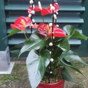 Formule C Anthurium rouge et son cache pot