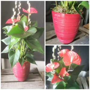 Anthurium Rouge et son cache pot