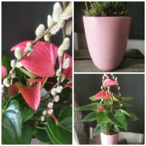 Anthurium Rose et son cache pot