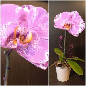 Orchidée Phalaenopsis Singolo Rose